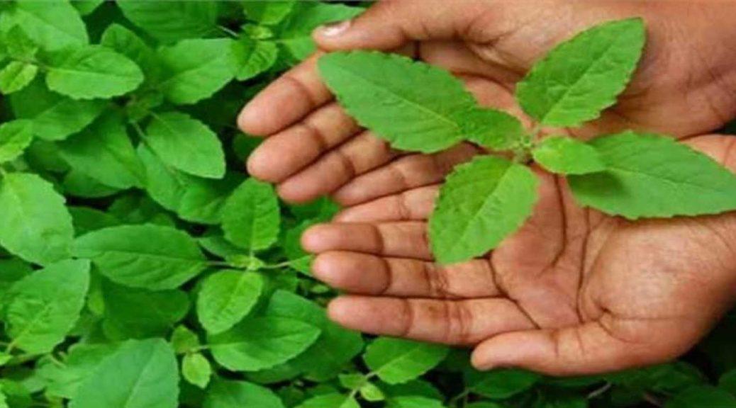 badri tulsi plant